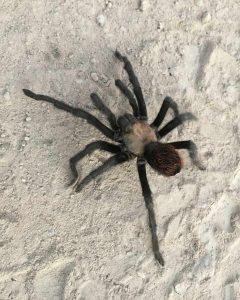 On my last Y mountain hike, I saw my first Utah tarantula after 22 years.