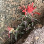 Zion National Park Red Flowers